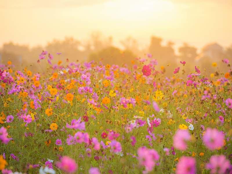 Su Schweizer Flower Field